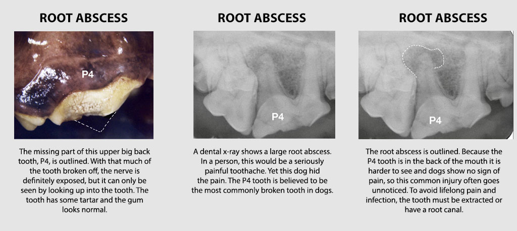 Veterinary Dental Xrays Dog Roots Abscess Crown Fracture